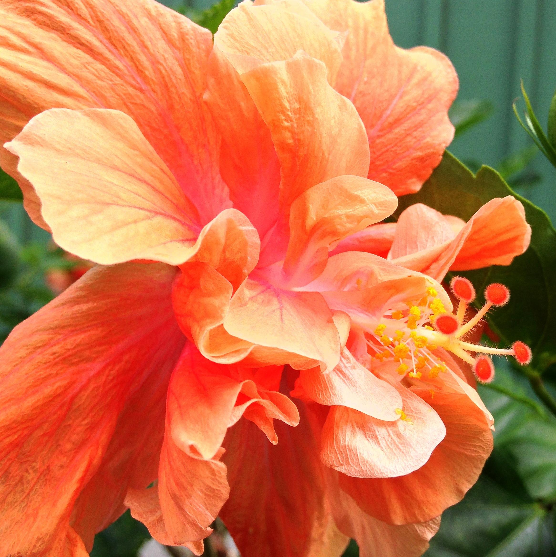 square hibiscus heart